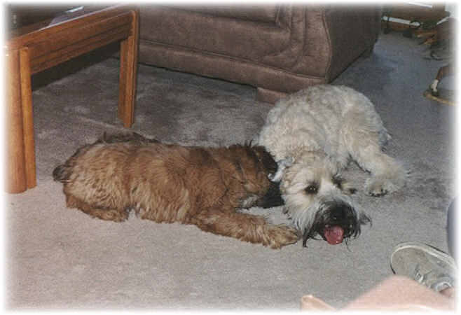 soft coated wheaten terrier breeders midwest